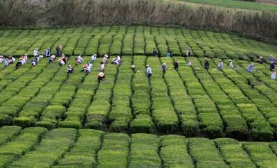 Identificada no chá dos Açores uma substância que combate Parkinson e Alzheimer